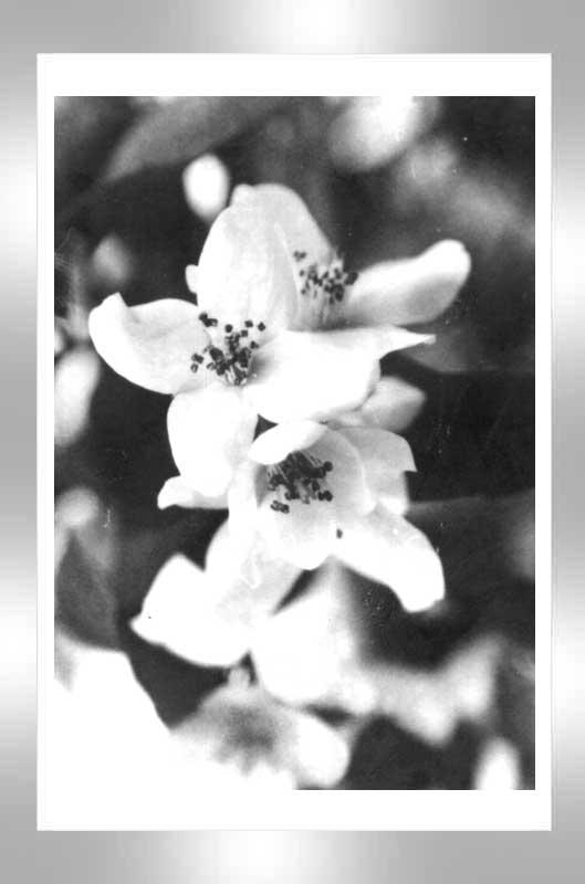 """фото """"Пришло лето, а нету цвета"""" метки: макро и крупный план, природа, цветы"""