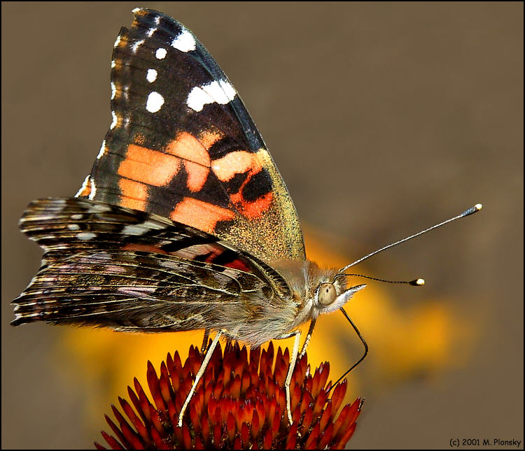 "photo ""Butterfly on a Cone Flower"" tags: macro and close-up, nature, insect"