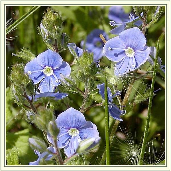 """фото """"Spring Blue Stars"""" метки: макро и крупный план, природа, цветы"""