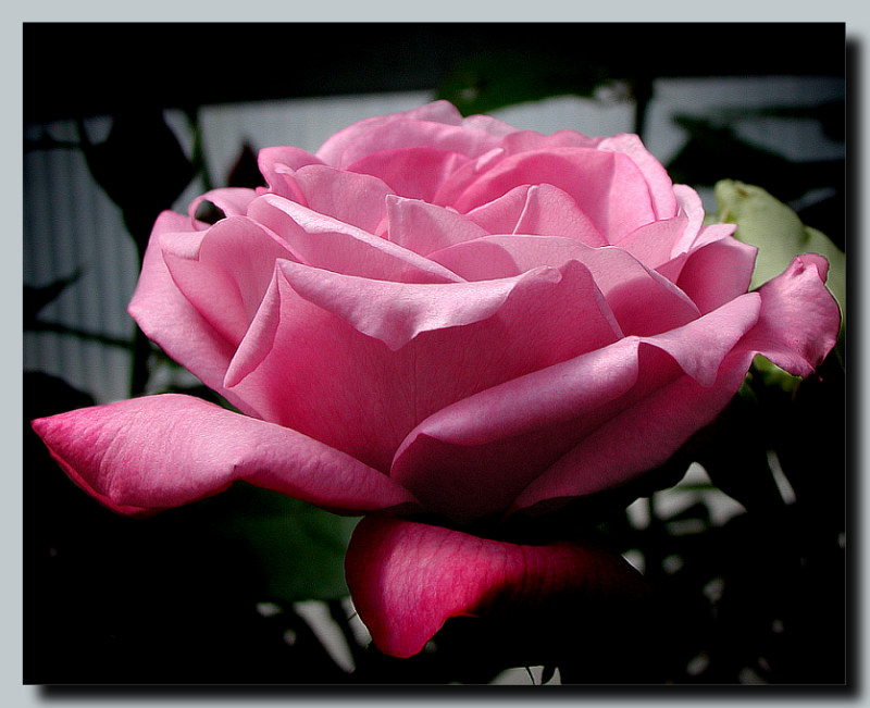 "photo ""Rose"" tags: nature, macro and close-up, flowers"