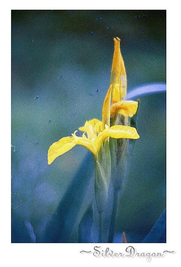 """photo """"Iris"""" tags: nature, flowers"""