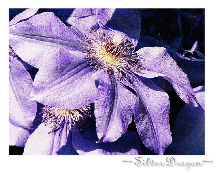 "photo ""Drenched Purple Beauty"" tags: nature, flowers"