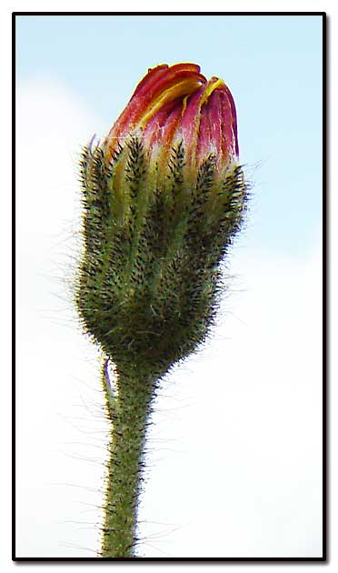 """фото """"Poppy"""" метки: природа, макро и крупный план, цветы"""