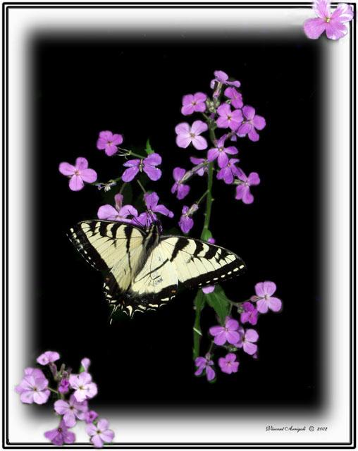 """фото """"Lone Butterfly"""" метки: макро и крупный план, природа, насекомое"""