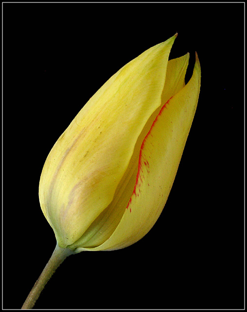 "photo ""Tulip"" tags: nature, flowers"