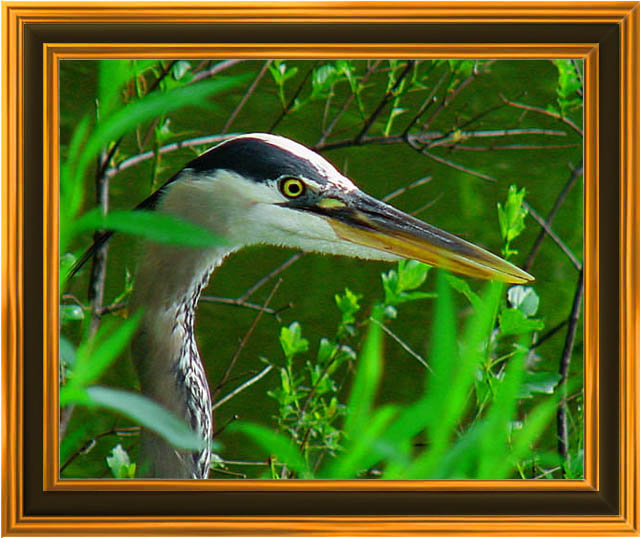 "photo ""Great Blue Heron"" tags: nature, wild animals"