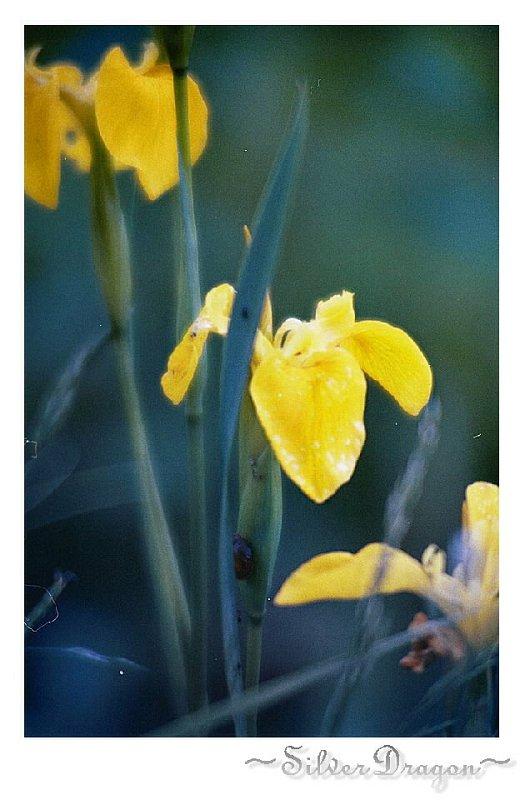 "фото ""Iris2"" метки: природа, цветы"
