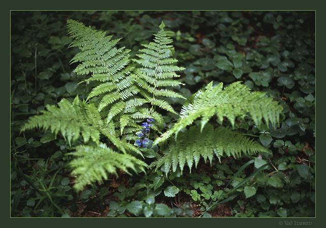 "фото ""Лесная фантазия"" метки: природа, цветы"