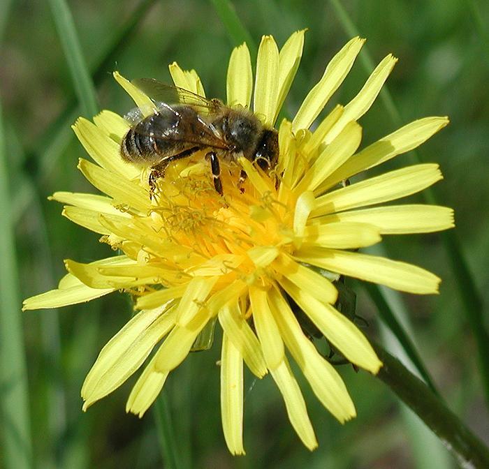 """фото """"Пчелка"""" метки: природа, макро и крупный план, цветы"""