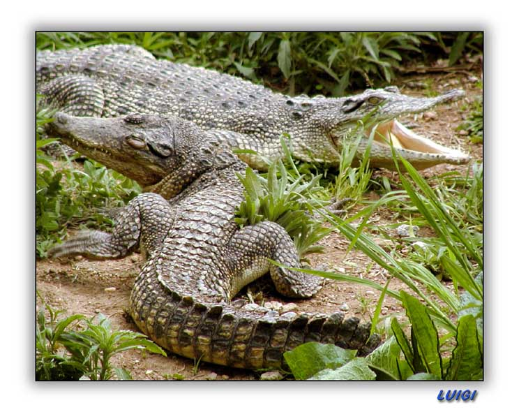 "photo ""Crocodile"" tags: nature, wild animals"