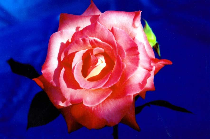 "фото ""summer blossom"" метки: природа, цветы"
