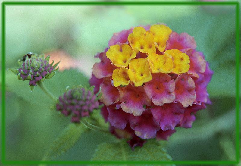 """фото """"Турецкий шарик"""" метки: природа, макро и крупный план, цветы"""