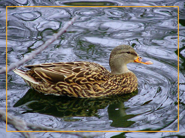 "photo ""Female Mallard"" tags: nature, wild animals"