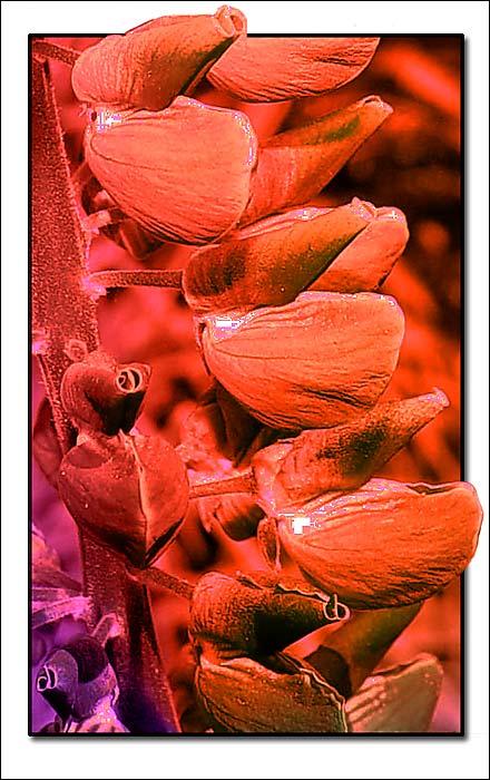 """фото """"Lupin in Red"""" метки: фотомонтаж, природа, цветы"""