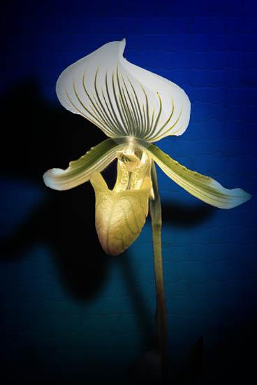 """фото """"Orchid"""" метки: природа, макро и крупный план, цветы"""