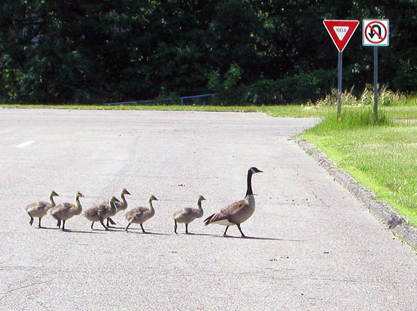 """photo """"Following Mom"""" tags: nature, humor, wild animals"""