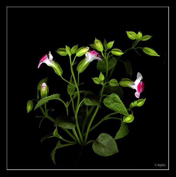"""фото """"""""Орнамент..."""""""" метки: природа, цветы"""