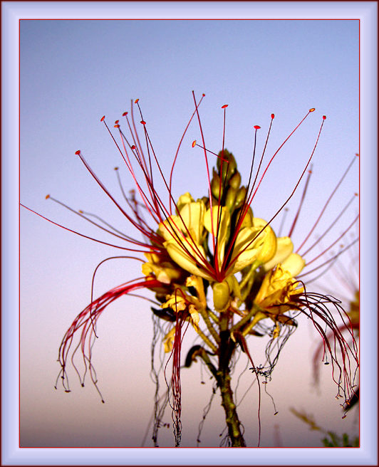 """фото """"Цветок-Салют"""" метки: природа, макро и крупный план, цветы"""