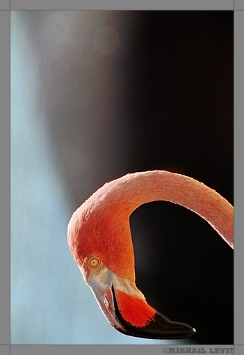 """photo """"PORTRAIT of the FLAMINGO."""" tags: portrait,"""