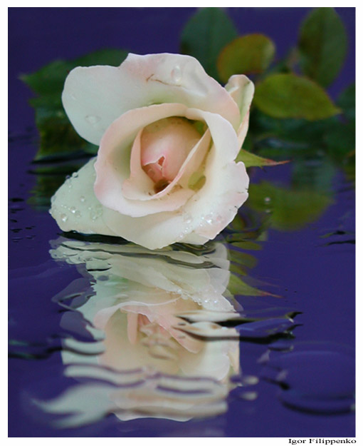 "фото ""White-Rose"" метки: макро и крупный план, натюрморт,"