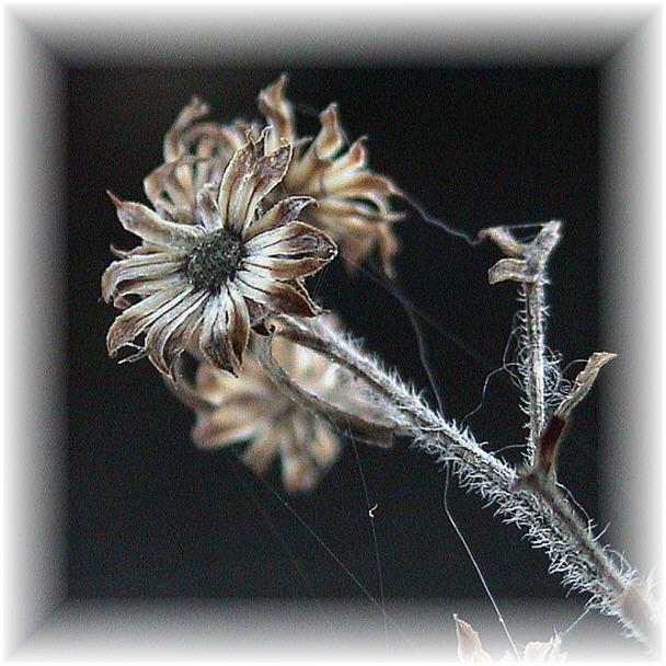 """фото """"Забытое..."""" метки: макро и крупный план, природа, цветы"""