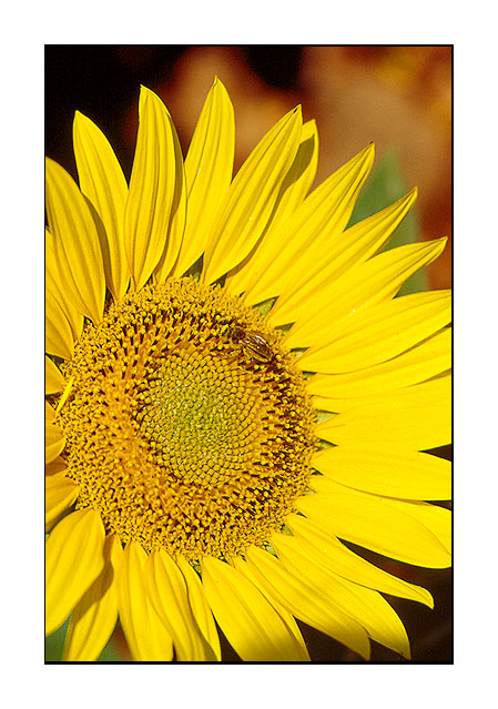 "фото ""Looking at the sun..."" метки: путешествия, природа, Европа, цветы"