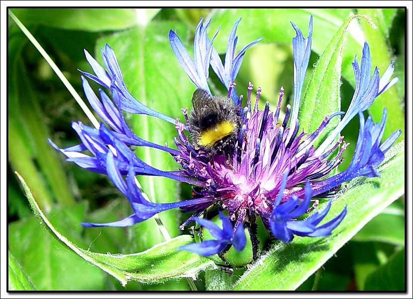 """фото """"Cornflower"""" метки: природа, макро и крупный план, цветы"""
