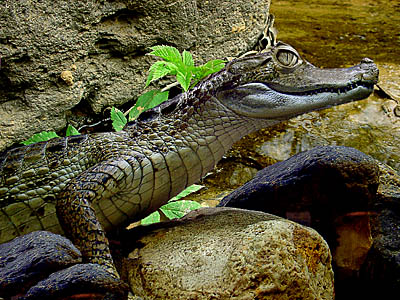 "photo ""The Dandy the crocodile!"" tags: montage, nature, wild animals"