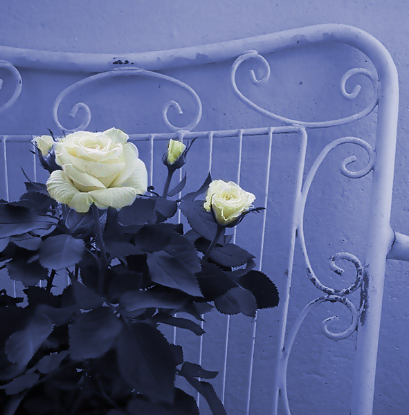 "photo ""White rose !"" tags: still life, montage,"