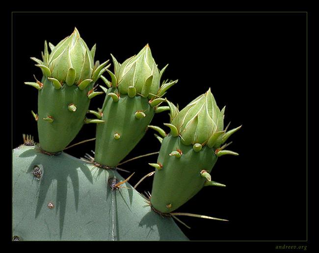 """фото """"Три поросенка :)"""" метки: макро и крупный план, природа, цветы"""