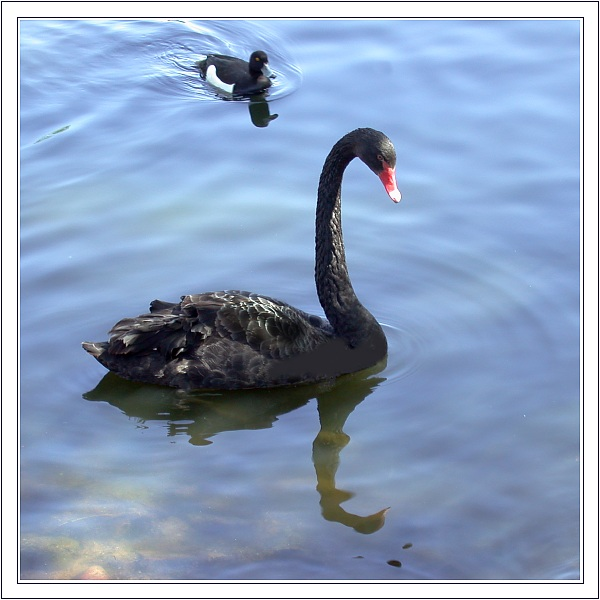 "photo ""About Ugly Duckling"" tags: nature, humor,"