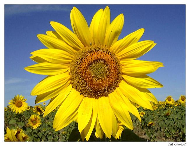"""фото """"Sunflower"""" метки: макро и крупный план, природа, цветы"""