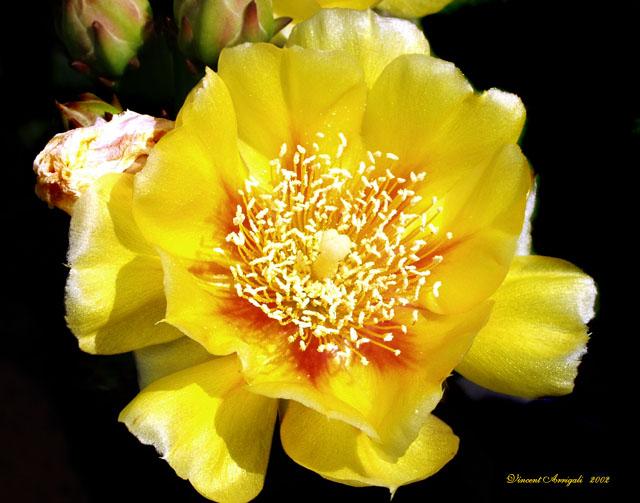 """фото """"Cactus Flower"""" метки: макро и крупный план, природа, цветы"""
