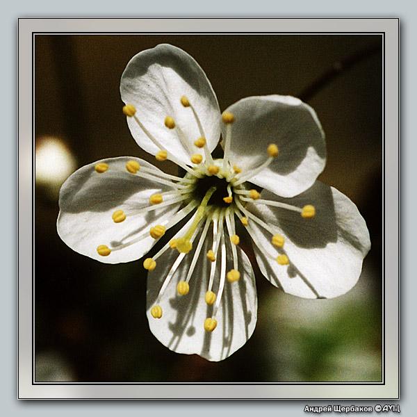 """фото """"Вишневый цвет"""" метки: макро и крупный план, природа, цветы"""