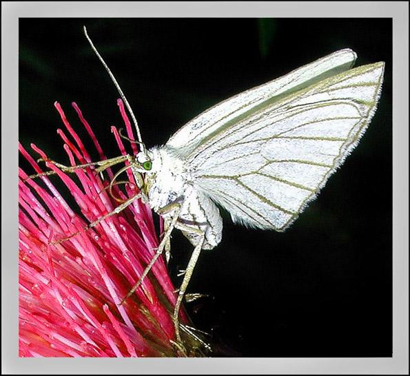 """фото """"Мотылёк"""" метки: природа, насекомое"""