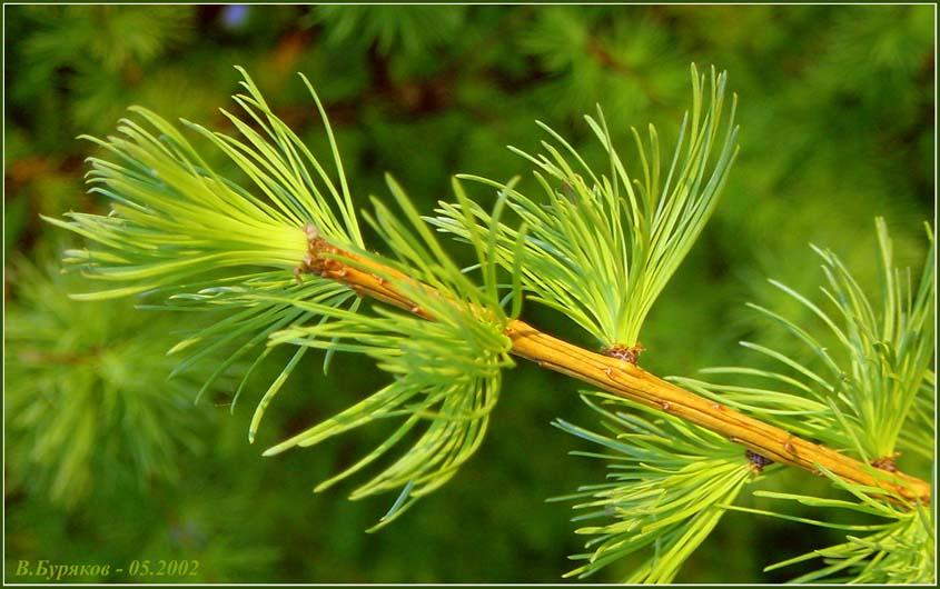 """фото """"Веточка"""" метки: природа, макро и крупный план, цветы"""
