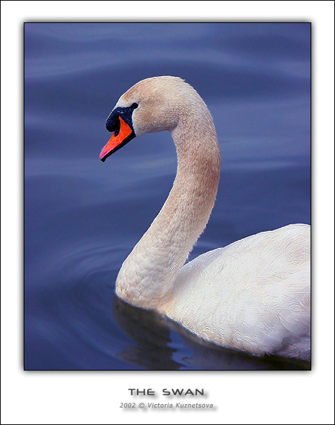 "photo ""The swan"" tags: nature, landscape, water, wild animals"
