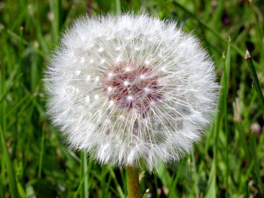 """фото """"Dandilion Seeds"""" метки: макро и крупный план, природа, цветы"""