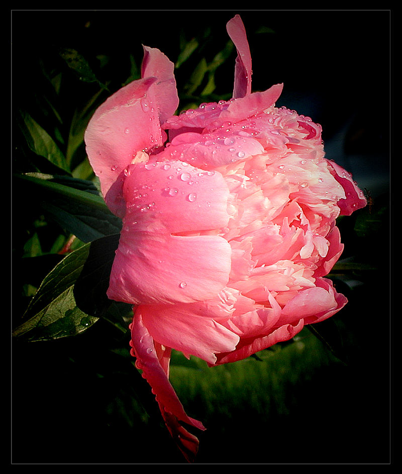"photo ""Peony"" tags: nature, macro and close-up, flowers"