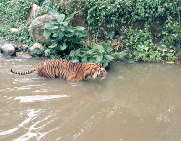 """фото """"Tiger!"""" метки: природа, дикие животные"""