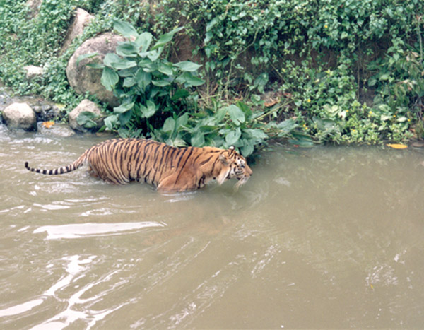 "photo ""Tiger!"" tags: nature, wild animals"