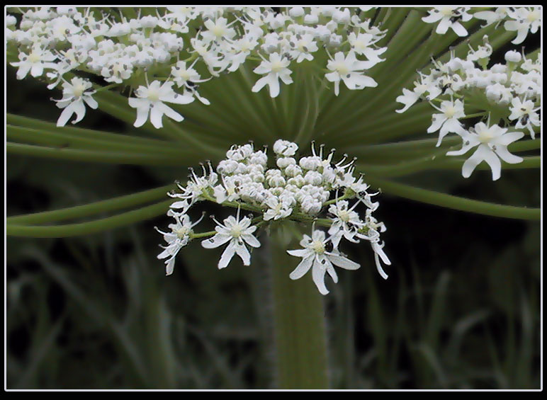 "photo ""*Giant hogweed *"" tags: nature, montage, flowers"