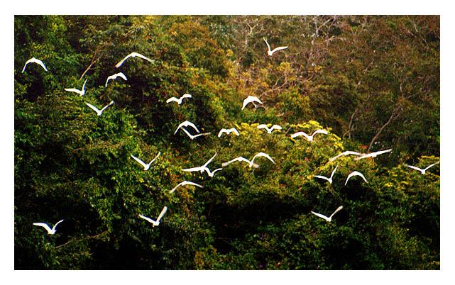 """фото """"fligth of herons"""" метки: природа, путешествия, Южная Америка, дикие животные"""