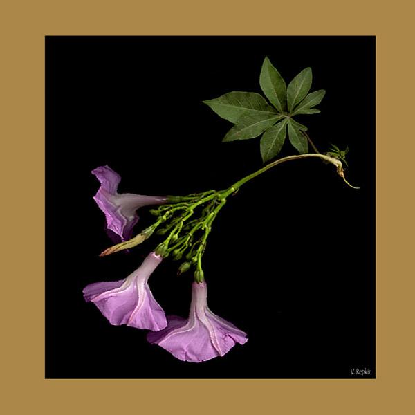 """фото """"""""Колокольчики"""""""" метки: природа, цветы"""