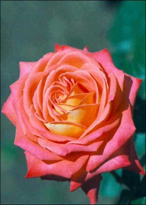 """фото """"Flower_04 (to Silvia Antunes)"""" метки: макро и крупный план, природа, цветы"""