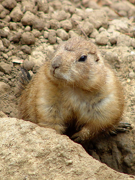 "photo ""Prairie Dog"" tags: nature, wild animals"