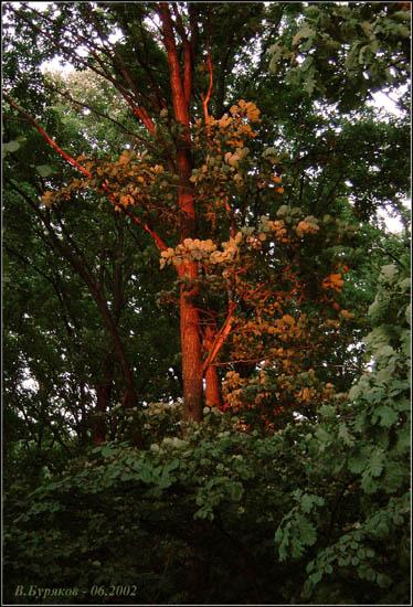 "фото ""Тает луч пурпурного заката..."" метки: пейзаж, закат, лес"