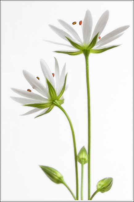 "photo ""Stellaria"" tags: macro and close-up, nature, flowers"