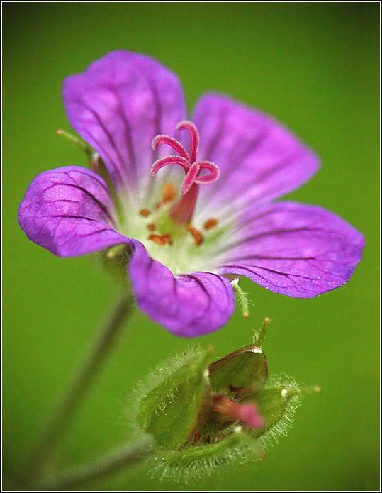 """фото """"Лесные Золушки #2"""" метки: природа, макро и крупный план, цветы"""