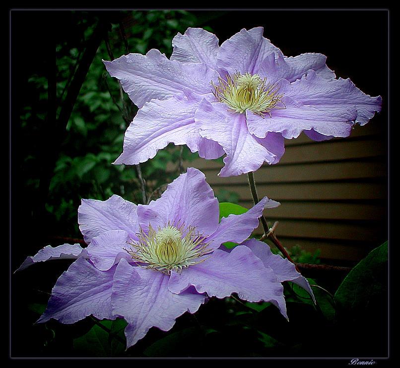 """фото """"Twin Sisters"""" метки: природа, макро и крупный план, цветы"""
